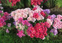 kwiaty wieloletnie długo kwitnące
