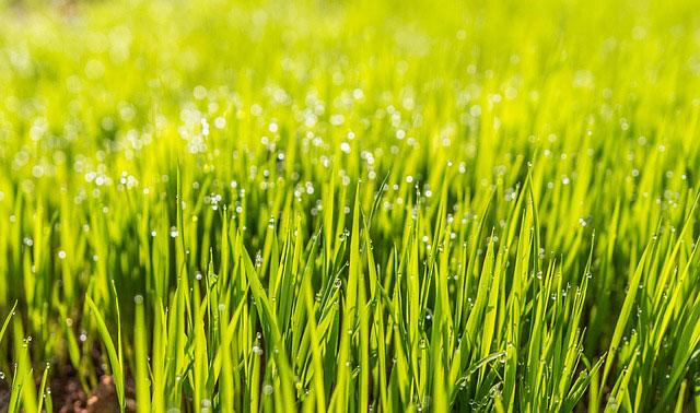 Jak siać trawę?