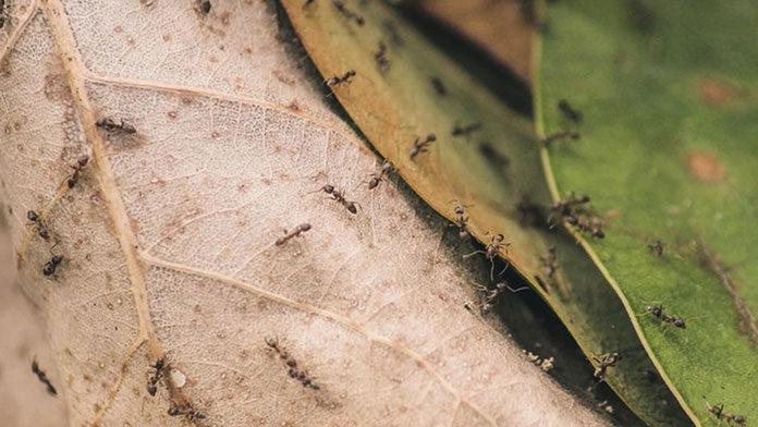 Ekologiczne sposoby zwalczania mrówek