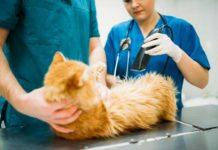 Zaćma u kota - objawy, leczenie